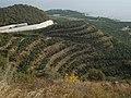19-Südostküste 15 km von Alanya unterhalb von Syedra - Statt Weinberge - Bananenberge - panoramio.jpg