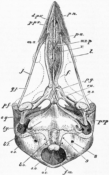 1911 Encyclopdia Britannicabird