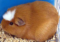 2006 TN State Fair- Guinea Pig
