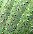 2008 05 17 - Euphorbia pulcherrima 04b.JPG