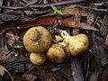 2011-04-25 Scleroderma cepa Pers 142860.jpg