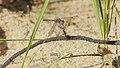 2012.09.29.-07-Viernheimer Heide Viernheim-Große Heidelibelle-Weibchen.jpg