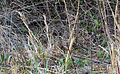 2013-04-10 Morchella esculentoides M.Kuo, Dewsbury, Moncalvo & S.L.Stephenson 321742.jpg