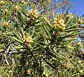 2013-06-27 10 19 50 Limber Pine foliage and pollen cones on Spruce Mountain, Nevada.jpg