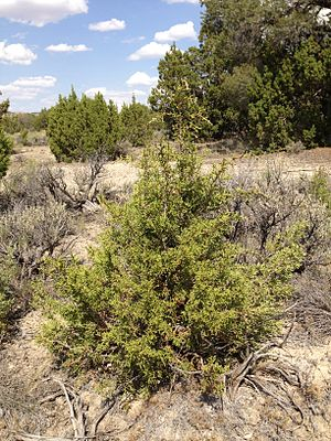 Juniperus osteosperma - Juniperus osteosperma seedling along I-80 in northeastern Nevada