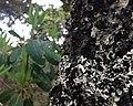 20130531普达措国家公园斑驳老树 - panoramio.jpg