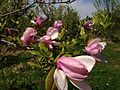 2014-05-11 11 57 03 Magnolia at a nursery along Davis Station Road, Upper Freehold Township, New Jersey.JPG