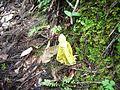 2014-07-28 Phallus luteus (Liou & L. Hwang) T. Kasuya 437659.jpg