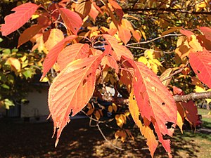 Prunus serrulata - Image: 2014 10 30 09 53 30 Kanzan Cherry foliage during autumn along Terrace Boulevard in Ewing, New Jersey