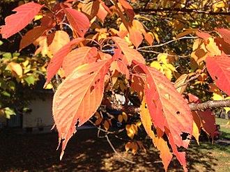 Prunus serrulata - Image: 2014 10 30 09 53 30 Kanzan Cherry foliage during autumn along Terrace Boulevard in Ewing, New Jersey