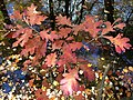 2014-10-30 12 36 40 White Oak foliage during autumn in the woodlands along the West Branch Shabakunk Creek in Ewing, New Jersey.JPG