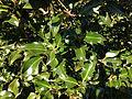 2014-11-02 15 43 33 English Holly foliage along Glen Mawr Drive in Ewing, New Jersey.JPG