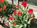 2015-03-31 10 22 01 Red Tulips along Idaho Street (Interstate 80 Business) in Elko, Nevada.JPG