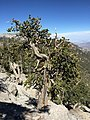 2015-07-13 15 14 15 A Great Basin Bristlecone Pine along the North Loop Trail about 7.0 miles west of the trailhead in the Mount Charleston Wilderness, Nevada.jpg