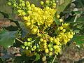 20150410Mahonia aquifolium2.jpg