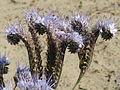 20150605Phacelia tanacetifolia1.jpg