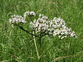 20150605Valeriana officinalis2.jpg