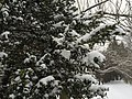 2016-02-15 09 15 19 Snow-covered evergreen foliage on a bush along Lees Corner Road (Virginia State Secondary Route 645) in the Franklin Glen section of Chantilly, Fairfax County, Virginia.jpg