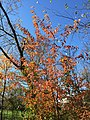 2016-11-15 10 54 43 Black Cherry sapling displaying autumn foliage along a trail in the Franklin Farm section of Oak Hill, Fairfax County, Virginia.jpg