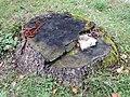 2017-10-31 (406) Tree stump with fungis (Gloeophyllum sepiarium, Trametes versicolor, Trametes versicolor, Lenzites betulina?) at Hauptfriedhof St. Pölten.jpg