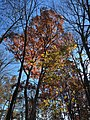 2017-11-23 13 05 12 View up into the canopy of several trees during late autumn along Stone Heather Drive near Stone Heather Court in the Franklin Farm section of Oak Hill, Fairfax County, Virginia.jpg