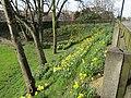 2018-04-06 Daffodils, Church street, Sheringham.JPG