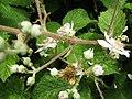 2018-06-28 Blackberry (Rubus) bush in flower, Church Road, Trimingham (2).JPG
