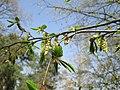 20180408Carpinus betulus.jpg
