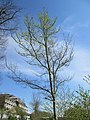20180412Ulmus minor1.jpg
