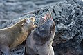 20180808-Galápagos fur seal-11 at Santiago (9796).jpg