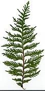 2020 year. Herbarium. Thuja. img-005.jpg
