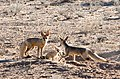 2 Cape fox and cub.jpg