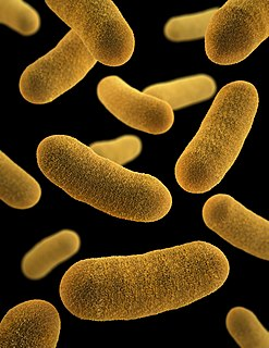 <i>Yersinia enterocolitica</i> species of bacterium