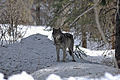 4-10-12-wolf-1 (7070913345).jpg