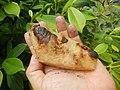 4087Ants Common houseflies foods delicacies of Bulacan 49.jpg