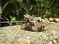 4217Foods Common houseflies Ants of the Philippines 32.jpg