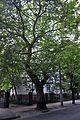 46-101-5019 Lviv Plane Tree RB.jpg