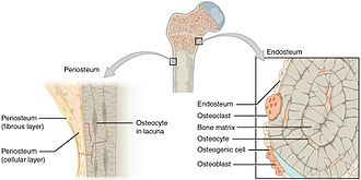 Periosteum - The periosteum covers the outside of bones.