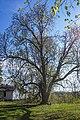 68-206-5012 Каштан кінський, Охрімівці (20).jpg