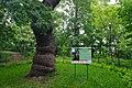 80-385-5024 Kyiv Shevchenko Oak SAM 0091.jpg