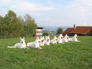 Berger Blanc Suisse - Several Berger Blanc Suisse dogs.