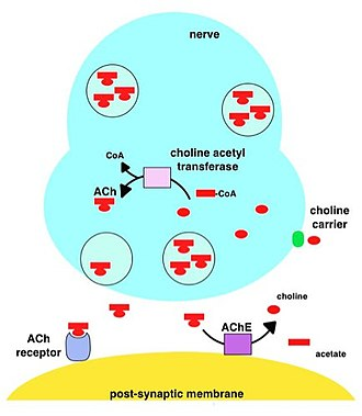 Acetylcholinesterase - Image: A Che mechanism of action
