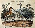 A Brasilian bittern (Ardea brasiliensis) and common crane (G Wellcome V0022188.jpg