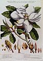 A Magnolia species; flowering stem with labelled floral segm Wellcome V0043034.jpg