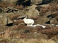 A Mountain Hare on Yellow Slacks - geograph.org.uk - 1114830.jpg