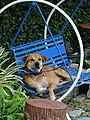 A Seriously Comfortable Dog - Lampang - Thailand (35066636921).jpg