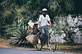 A bicyle delivery guy in diani kenya.jpg
