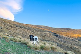A cow standing near Cortijo de Antonio Quirante during golden hour in Sierra Nevada National Park (DSCF5315).jpg