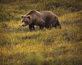 A grizzly bear eats berries north of the park road, near mile 19, on August 23, 2019. (8bf62414-bbe9-47c2-ab9a-fa861689ea29).JPG