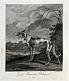 A large Irish greyhound. Etching by J. E. Ridinger. Wellcome V0021039ER.jpg